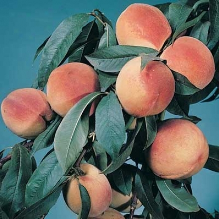 Peach, Elberta Standard Jumbo