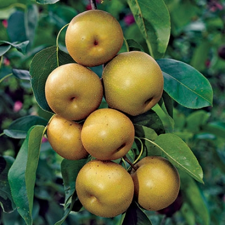 Pear, Asian 20th Century