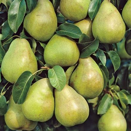 Pear, Kieffer Pygmy Jumbo