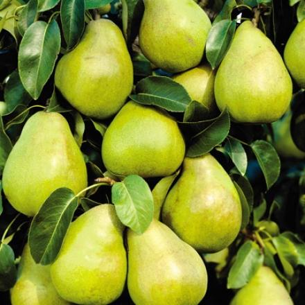 Pear, Kieffer Dwf