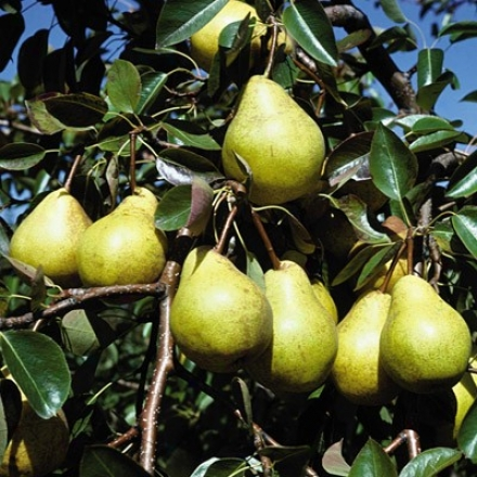 Pear, Kieffer Standard Jumbo