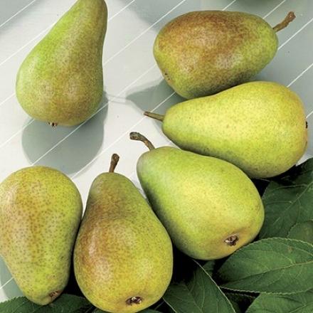 Pear, Kieffer Std
