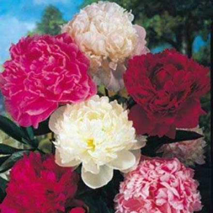 Peony Collection, Red-white-pink