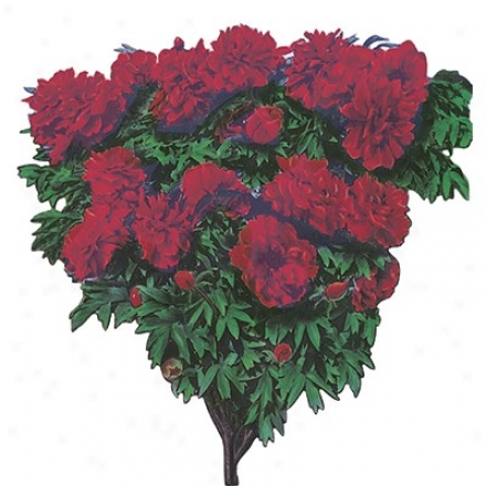 Peony Tree, Red