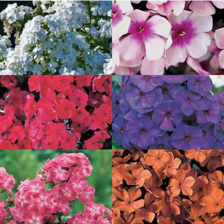 Phlox Collection, Everblooming