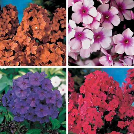 Phlox Collection Of 4