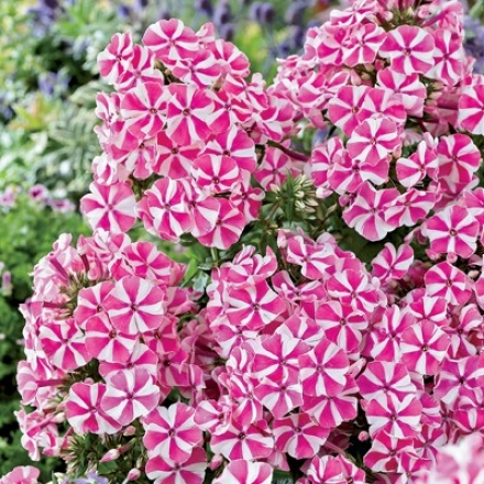 Phlox, Peppermint Wind