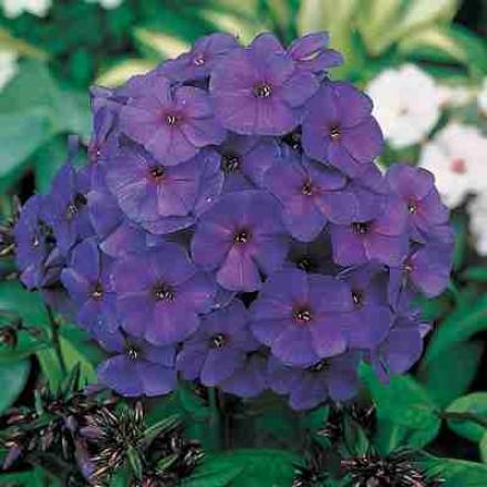 Phlox, Royal Purple
