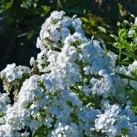 Phlox, Snow White Giant Garden