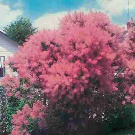 Pink Mist Reek Tree