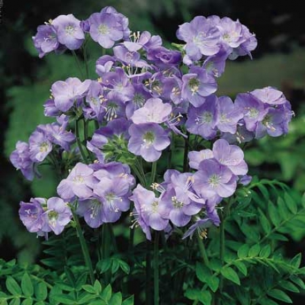 Polemonium, Heavenly Habit
