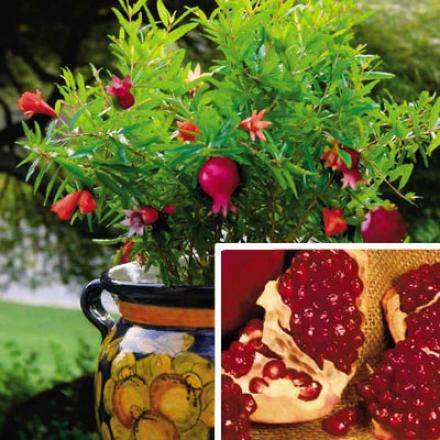 Pomegranate, Dwarf