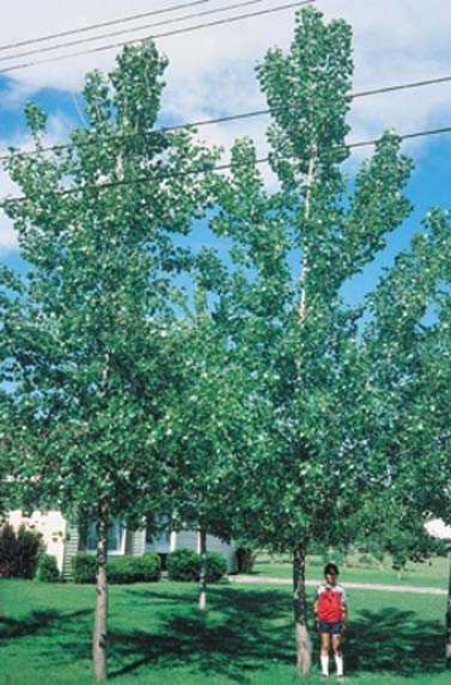 Poplar, Hybrid Protection 4-5'