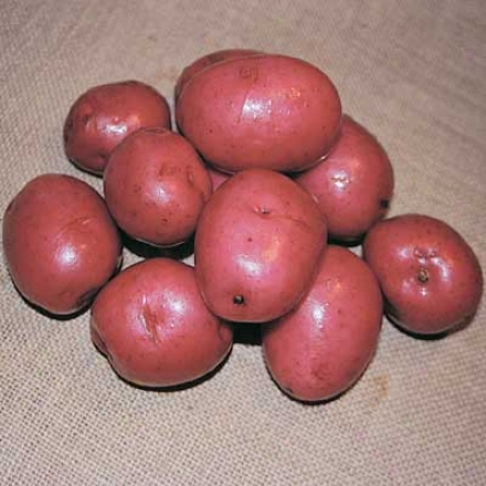 Potato, Dark Red Norland