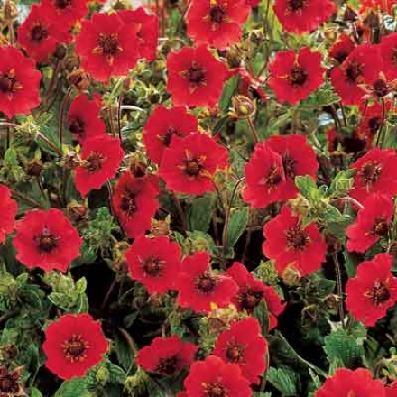 Potentilla, Fire Flames