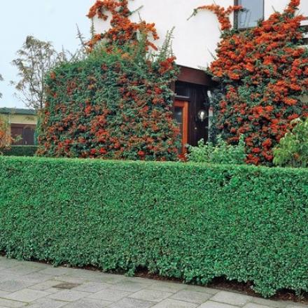 Pdivet Hedge