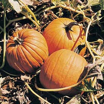 Pumpkin, Howden