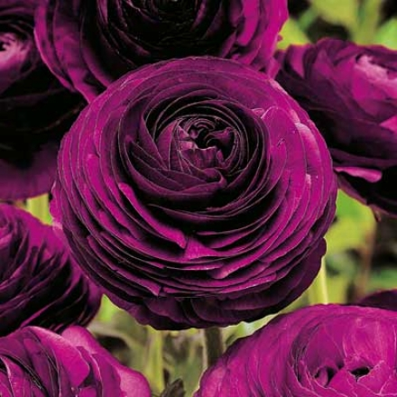 Ranunculus, Purple