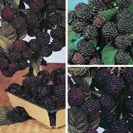 Raspberry, Black