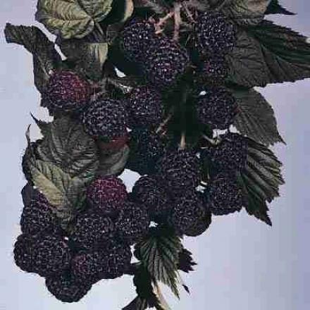 Raspberry, Dundee Black