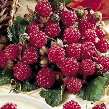Raspberry, Latham