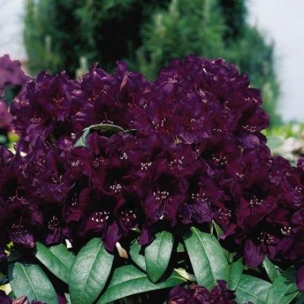 Rhododendron, Polar Nigut