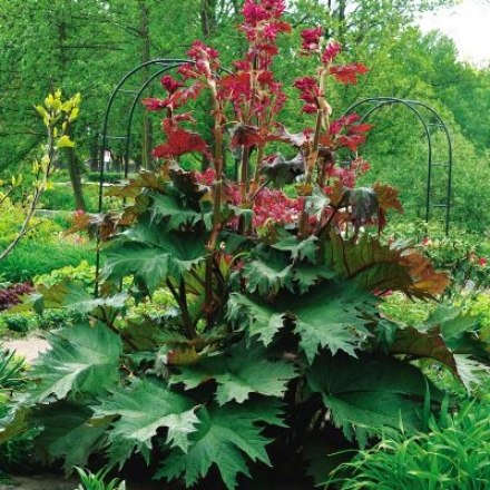 Rhubarb, Ornamental