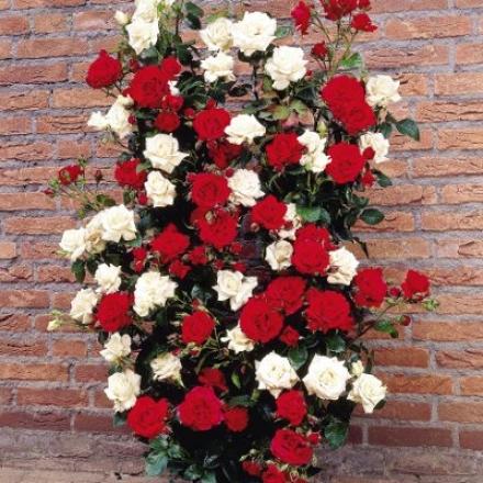 Rose, Climbing Bargain