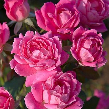 Rose, Knock Out� Double Pink