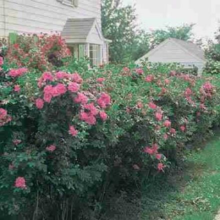 Rose, Rosa Rugosa