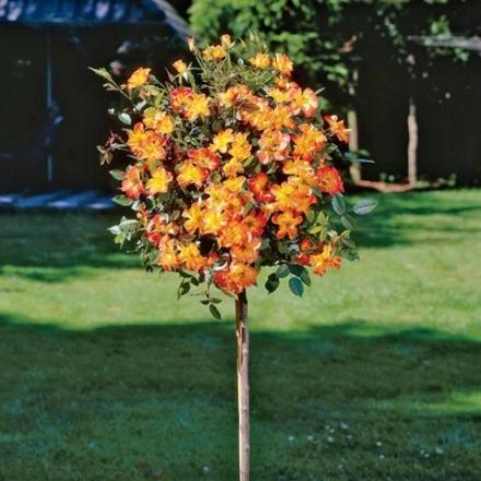 Rose Tree, Playboy