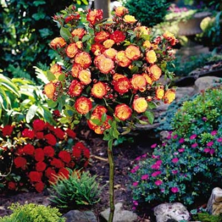 Rose, Tree Rainbow Sunblaze�
