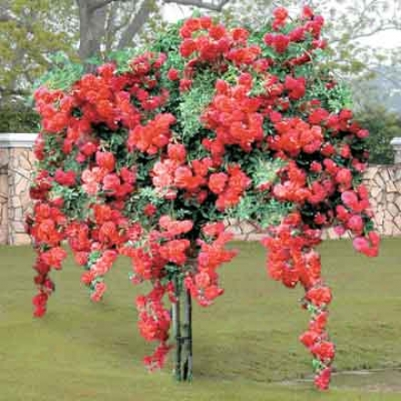 Rose Tree, Weeping Red