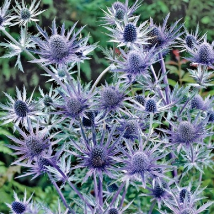 Sea Holly, Big Blue