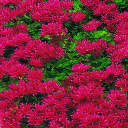 Sedum, Improved Dragon'x Blood Red