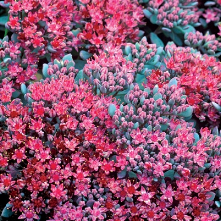 Sedum, Rosy Carpet