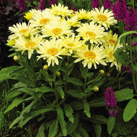 Shasta Daisy, Banana Cream