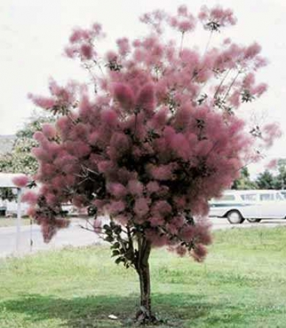 Smoke Tree, Purple