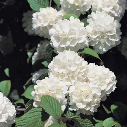 Snowball Bush, Old Fashioned