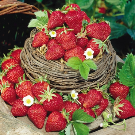 Strawberry, Fort Laramie