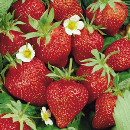 Strawberry, Ozark Beauty