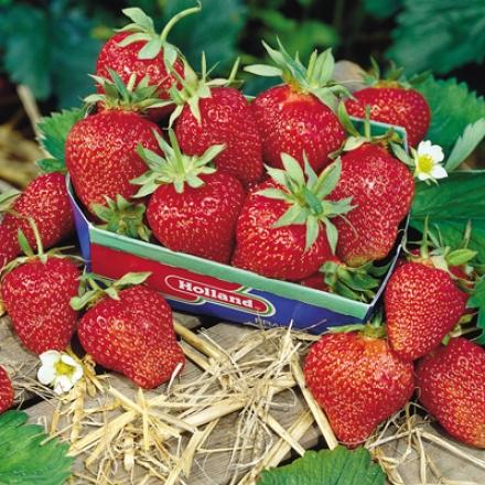 Strawberry, Surecrop