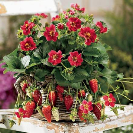 Strawberry, Tristan