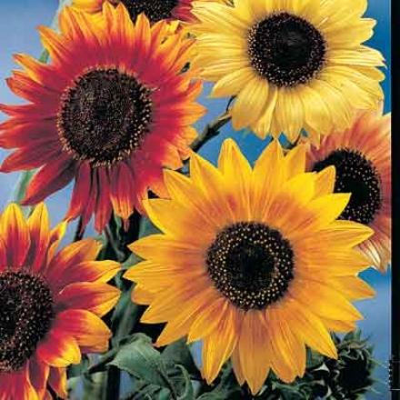 Sunflower, Decoorative Mix
