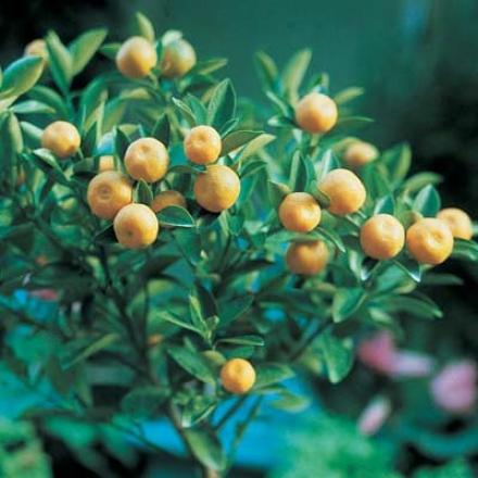 Tangerine, Dwarf
