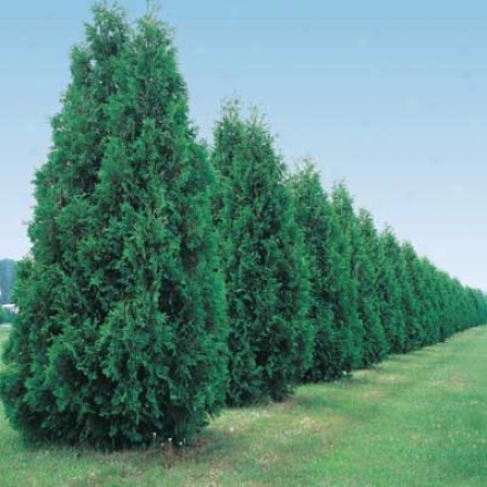 Thuja, Green Giant
