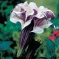 Ange1 Trumpet,- Lavender