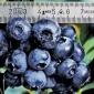 Blueberry, Patrito