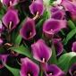 Clla Lily, Dark Purple