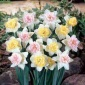 Daffodil Collection, Colorful Cupful